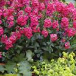 Diascia - Sundiascia® Upright Rose Pink