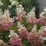 Hydrangea - Pinky Winky