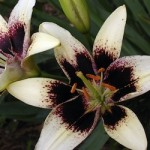 Cappuccino Asiatic Lily