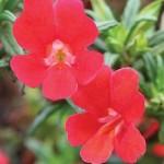 Monkey Flower (Mimulus aurantiacus)