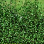 Muehlenbeckia (Creeping Wire Vine) - complexa