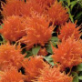 Celosia - Fresh Look Orange