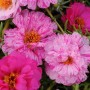 Portulaca - Happy Trails Peppermint