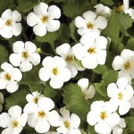 Bacopa - Scopia™ Great White Improved
