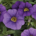 Calibrachoa - Noa™ Blue Legend