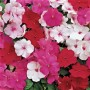 Impatiens - Accent™ Premium Mix