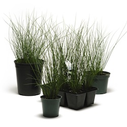 juncus blue arrows