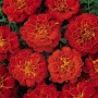 Marigold - French - Durango® Red