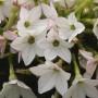 Nicotiana - Starmaker Appleblossom