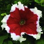 Petunia - Dreams Red Picotee
