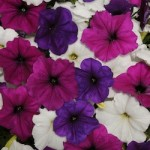 Petunia - Easy Wave® Mix Great Lakes