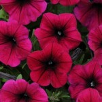 Petunia - Shockwave Deep Purple