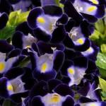 Torenia - Kauai Deep Blue