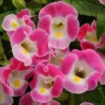 Torenia - Kauai Rose