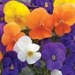 Viola - Penny™ All Seasons Mix