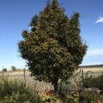 Ash - Oakleaf Mountain (Sorbus x thuringiaca)