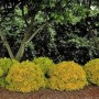 Barberry - Sunjoy® Gold Pillar