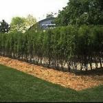 Buckthorn - Tall Hedge