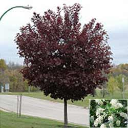 Canada-Red-Select-Chokecherry