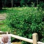 Dogwood - Bailey (Red Twig)