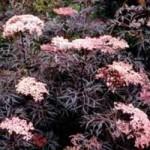 Elderberry - Black Lace™