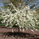 Flowering Crabapple - Tina