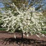 Flowering Crabapple - Tina