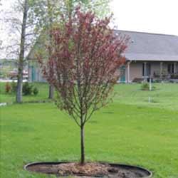 Flowering-Crabtree-Velvet-Pillar