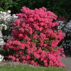 Rhododendron-Rosy-Lights-Azalea