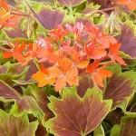 Geranium - Brocade Vancouver Centennial