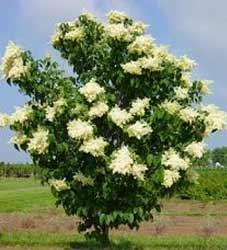 Lilac-Tree---Ivory-Silk