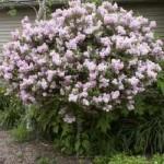 Lilac Tree - Miss Kim