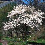 Magnolia - Royal Star