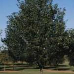 Maple - Sienna®
