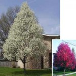 Ornamental Pear - Chanticleer - Cleveland Select