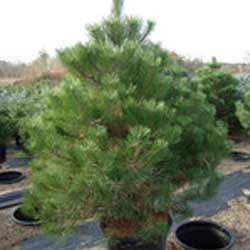 Pine---Austrian-1