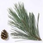 Pine - Austrian