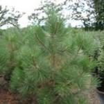 Pine - Ponderosa