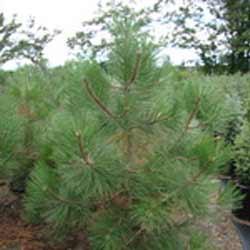 Pine---Ponderosa