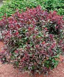 Plum---Purpleleaf-Sand-Chere
