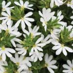 Scaevola - White Blessing