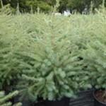Spruce - Black