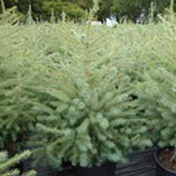 Spruce---Black