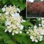 Viburnum - American Cranberry Compact Alfredo