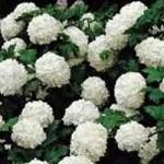 Viburnum - Common Snowball