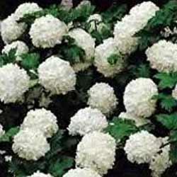 Viburnum---Common-Snowball