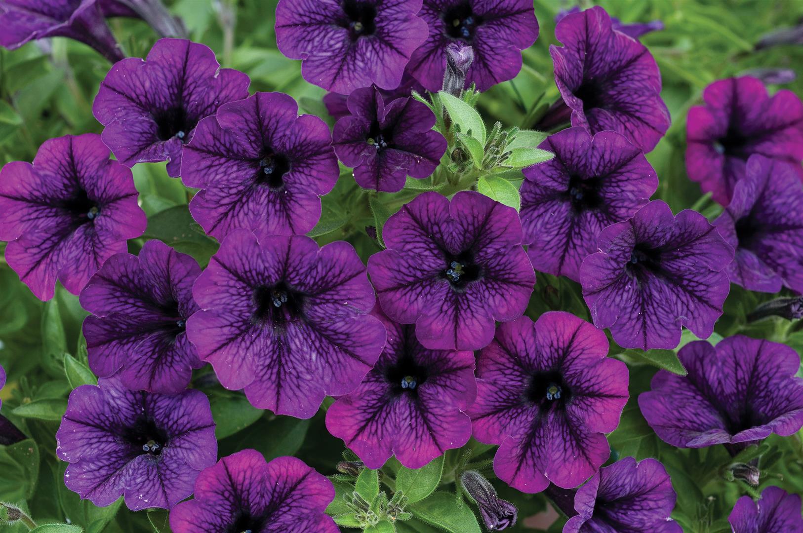 Image Gallery purple petunias