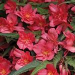Begonia boliviensi - Bon Bon Cherry