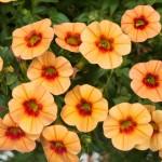 Calibrachoa - Noa™ Apricot