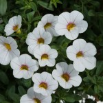 Calibrachoa - Noa™ Cherry Blossom